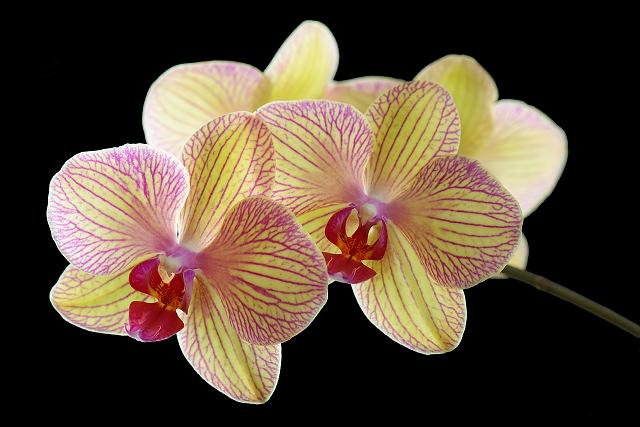 Orchidee_DSC_4906.jpg