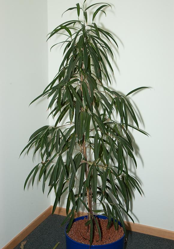 Ficus binnendijkii - Zimmerpflanzen sonniger standort ...