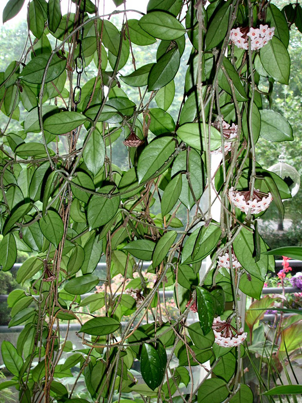 hoya carnosa porzellanblume wachsblume