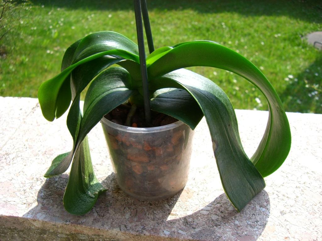 Orchidee Phalaenopsis Hat Ledrige Welke Blätter