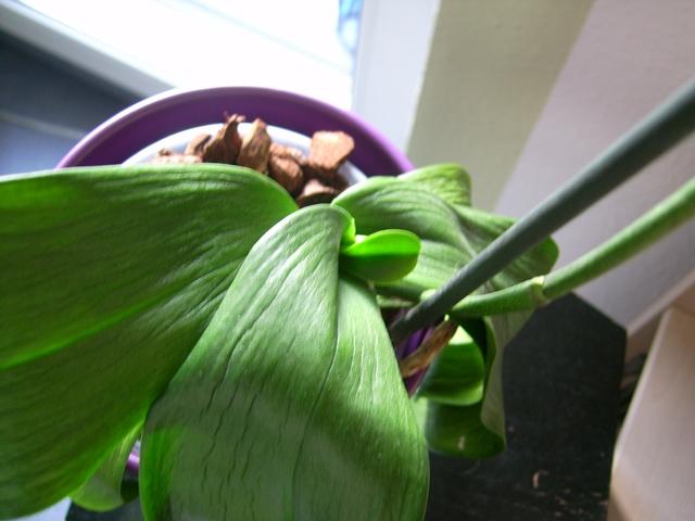 Orchidee Macht Schlapp Schlaffe Blätter Und Blüten Das Große