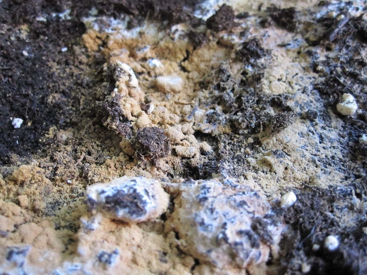 Schefflera Pilze Und Schimmel In Der Erde