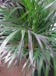 kentia palme bekommt dunkle vertrocknete bl tter. Black Bedroom Furniture Sets. Home Design Ideas